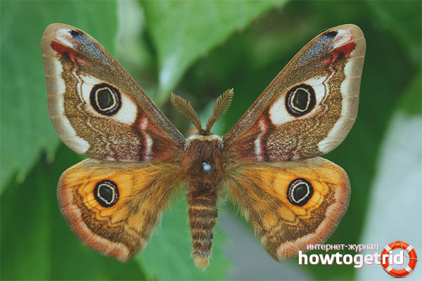 Образ жизни бабочки павлиноглазки