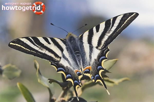 Образ жизни бабочки подалирий