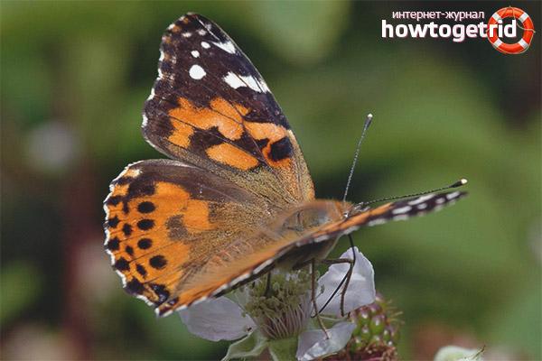 Образ жизни бабочки репейницы
