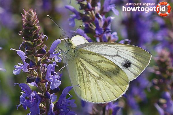 Образ жизни бабочки репницы