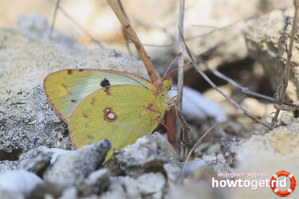 Образ жизни бабочки желтушки