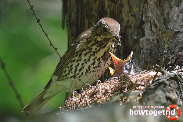 Особенности питания певчего дрозда