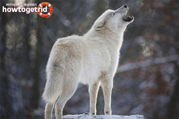 Отдельные виды волков
