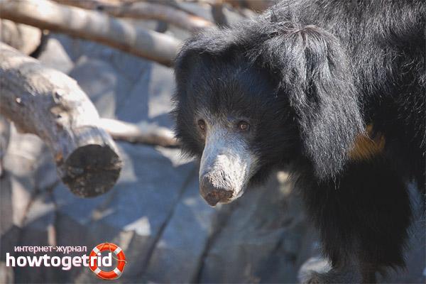 Питание медведя губача