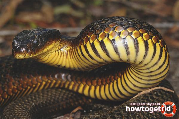 Питание тигровой змеи