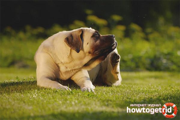 Почему собака чешется, если нет блох