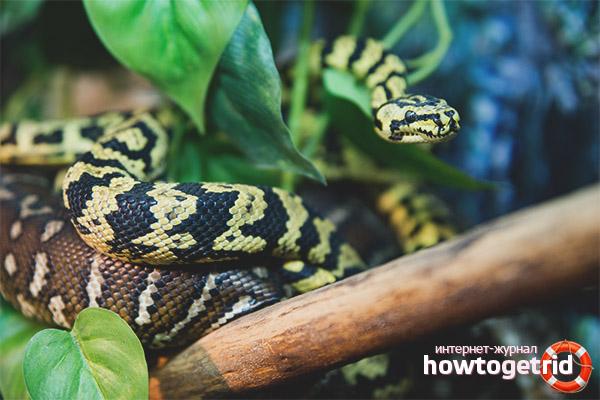 Поведение коврового питона в дикой природе