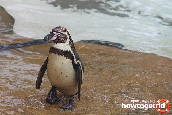 Поведение пингвинов гумбольдта