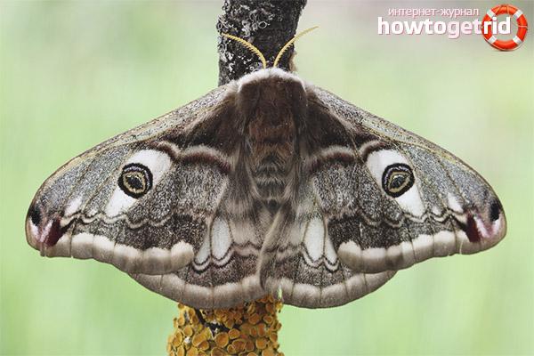 Распространение бабочки павлиноглазки