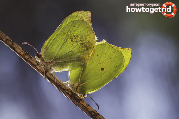 Размножение бабочки лимонници