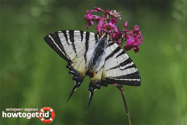 Размножение бабочки подалирий