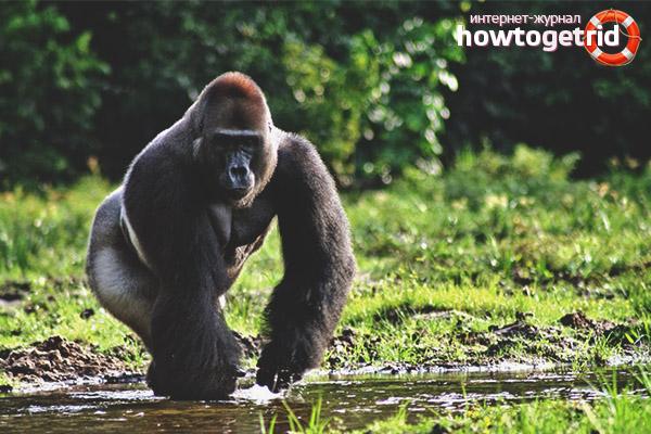 Размножение горилл