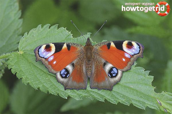 Размножение и продолжительность жизни бабочки павлиний глаз