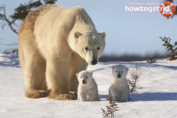 Размножение и развитие белого медведя