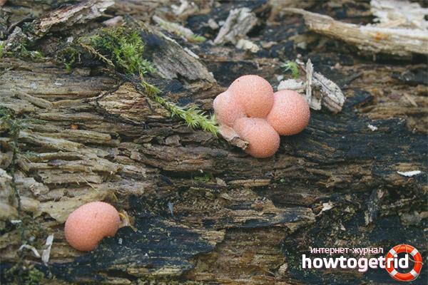 Размножение ликогалы древесинной