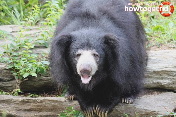Размножение медведя губача