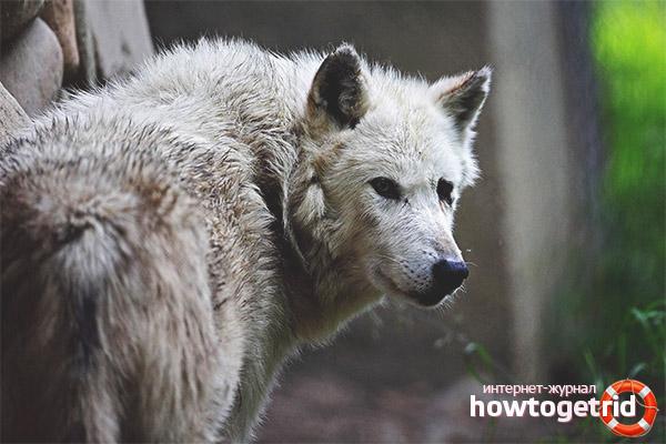 Размножение волков