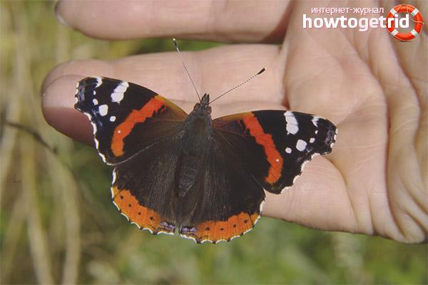 Разновидности бабочки адмирала