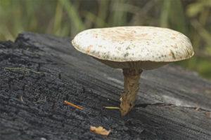 Шпальный гриб