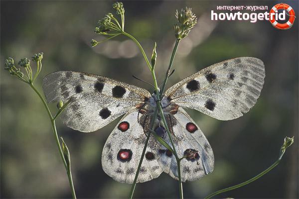 Способ размножения бабочек аполлона