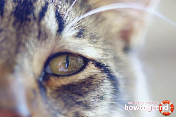 Выделения из глаз у кошек