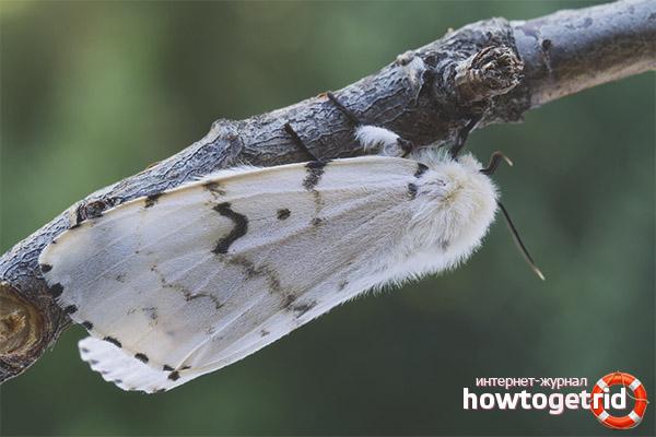 Жизненный цикл и размножение бабочки шелкопряда