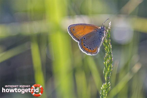 Жизненный цикл и воспроизводство потомства бабочки сенницы