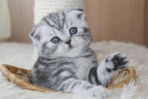 Чем кормить шотландского вислоухого котёнка