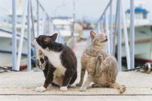 Чесотка у кошек и котов