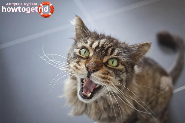 Что делать, если у кота пропал голос