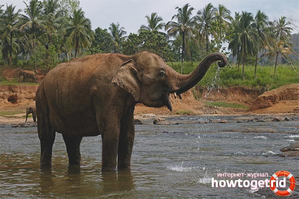 Длительность жизни слона