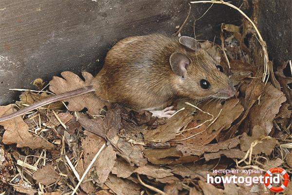 Характерные особенности желтогорлой мыши