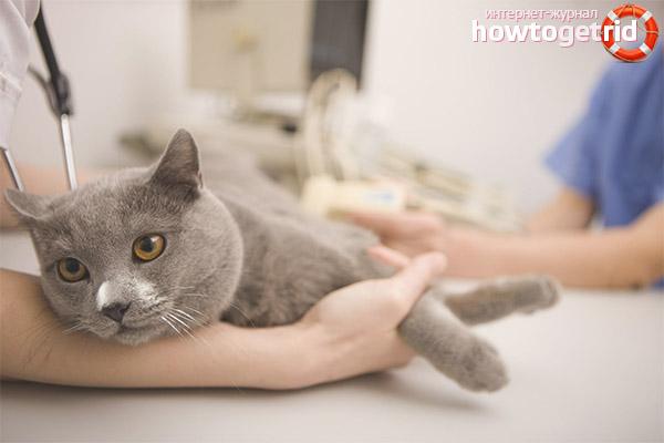Как лечить чесотку у кошки