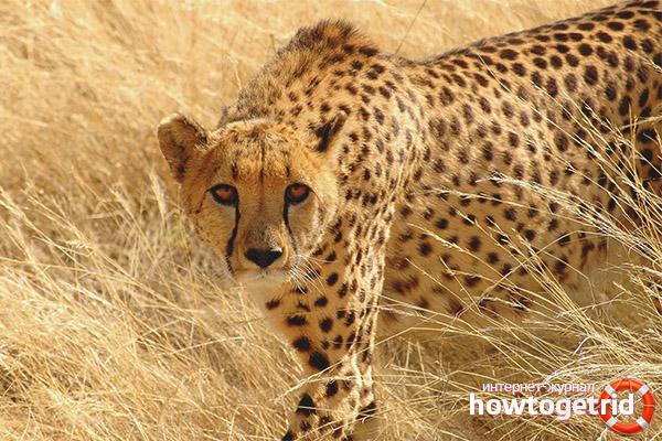 Как охотится гепард