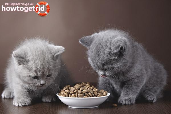 Как заставить котенка есть сухой корм