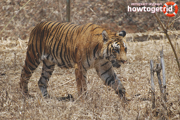 Манера поведения бенгальского тигра