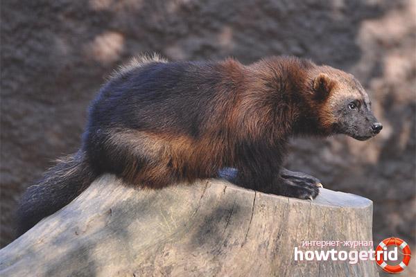 Медведь росомаха