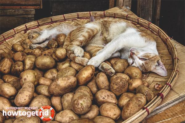Можно ли кошкам и котам давать картошку?