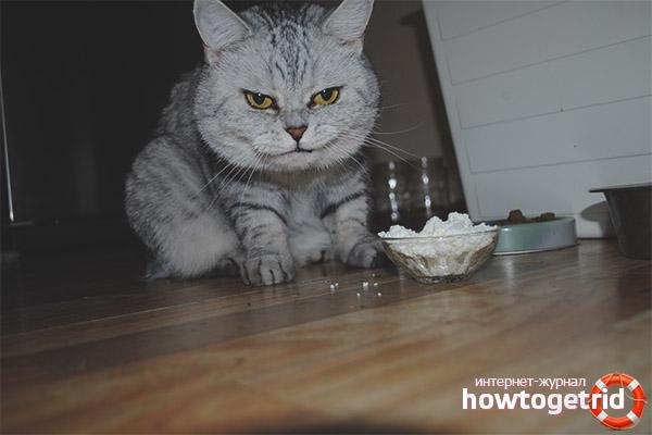 Можно ли кошкам и котам давать творог
