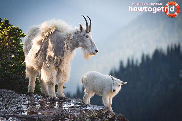 Обитание cнежной козы