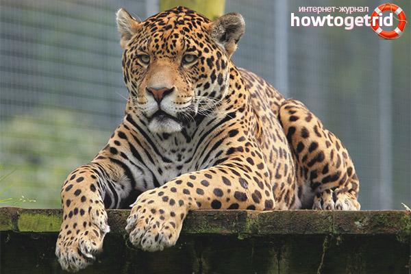 Обитание ягуара
