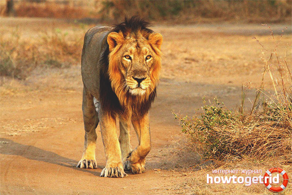 Образ жизни азиатских львов