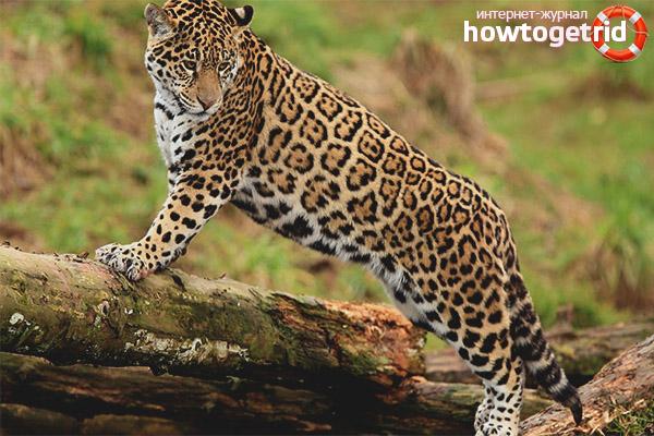 Образ жизни ягуара