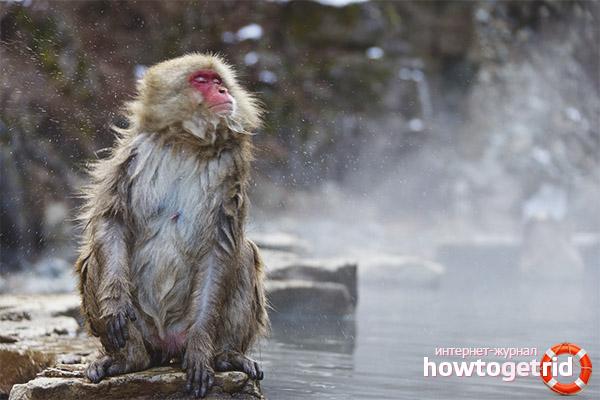 Образ жизни японских макак