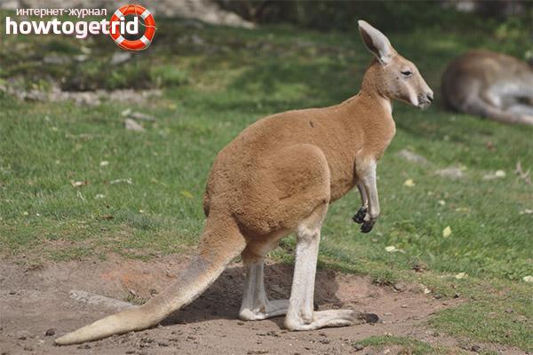 Образ жизни кенгуру