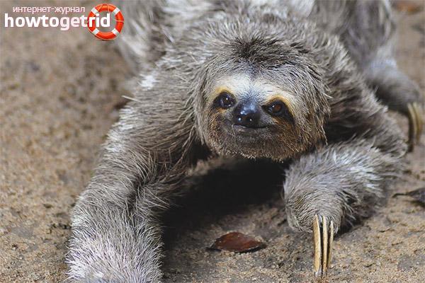 Образ жизни ленивца