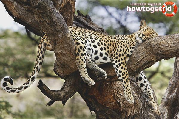 Образ жизни леопарда