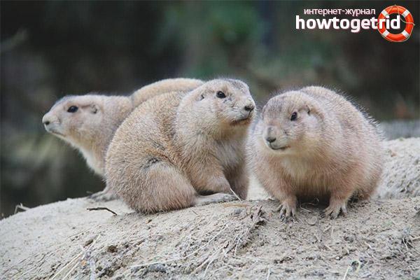 Образ жизни луговых собачек
