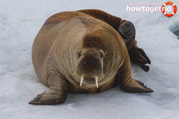 Образ жизни моржа