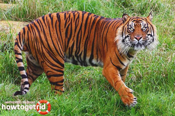 Образ жизни суматранского тигра